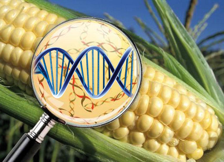 EU está en contacto con México por veto a maíz genéticamente modificado